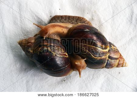 Two snails Akhtina on tablecloths . .