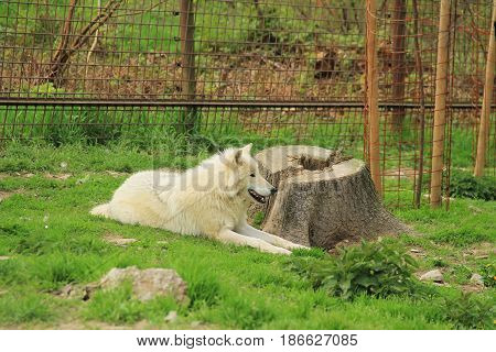 beautiful white arctic wolf (Canis lupus arctos) having rest near the big stump in the ZOO