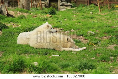 two beautiful white arctic wolves (Canis lupus arctos) having rest