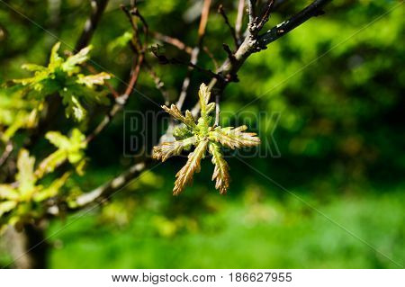 Beautiful green Oak leaves on a spring time on sunny day