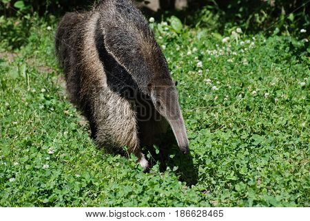 Giant anteater in a grassy area walking around.