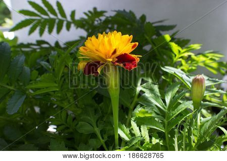 In the foreground is a yellow and red flower of Tagetes in the background are green leaves.