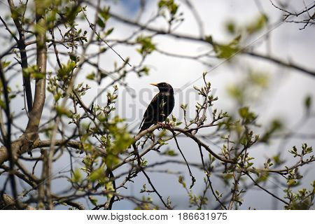Starling sits on a branch in spring