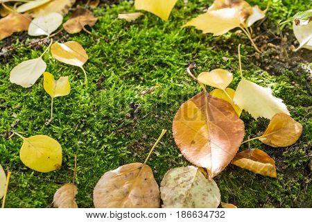 Yellow fallen leaves. Moss. Autumn. Close-up. Macro