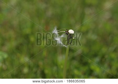 Summer / Old discolored dandelions on a green background