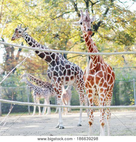 Beautiful giraffes with a long slim neck