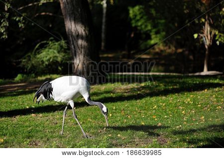 Heron bird (Ardea herodias) on a green field