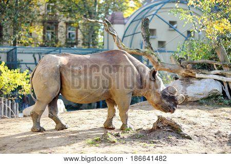 Big wild animal rhinoceros in a zoo