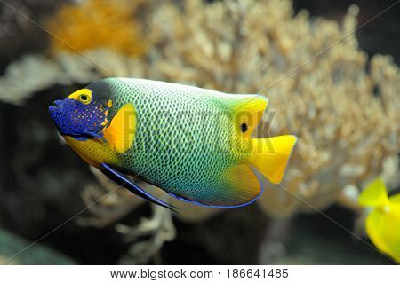 Colorful tropical fish angelfish swimming close up