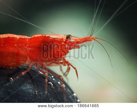 Portrait of a beautiful red freshwater shrimp