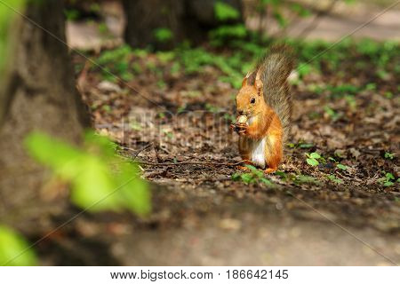 One red fluffy squirrel with cute tail sit on the forest ground and gnawing some nut while holding it in paws at sunny autumn day