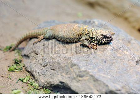 Ornate uromastyx mastigure lizard on a rock