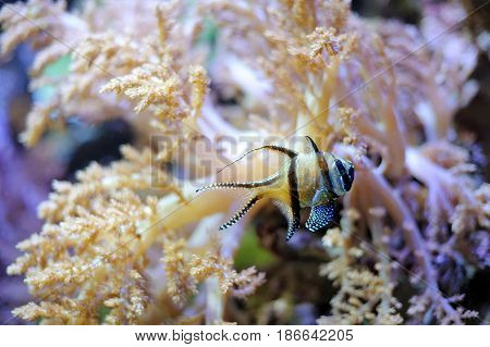 Tropical striped little fish swimming in the sea