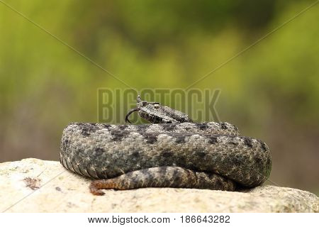 beautiful male nose horned viper on a rock ( Vipera ammodytes )