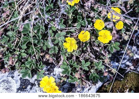 Anemone ranunculoides plant in spring Palava mountains in South Moravia