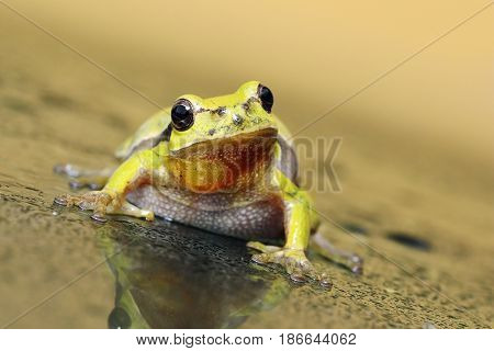 portrait of curious tree frog on wet glass ( Hyla arborea ) looking at the camera