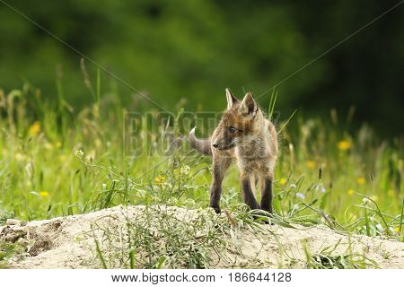 cute fox cub near the burrow ( Vulpes )