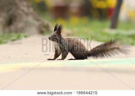 cute red european squirrel standing on park alley ( Sciurus vulgaris )