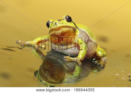 cute tree frog looking at the camera ( Hyla arborea male curious animal )