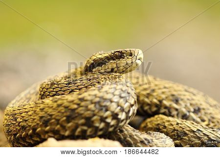 the elusive hungarian meadow viper one of the rarest snakes in Europe ( Vipera ursinii rakosiensis female )