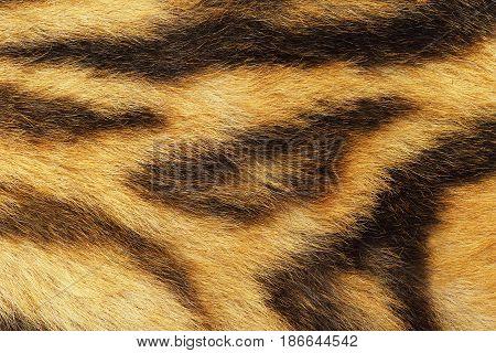 detailed tiger fur animal pelt texture for your design