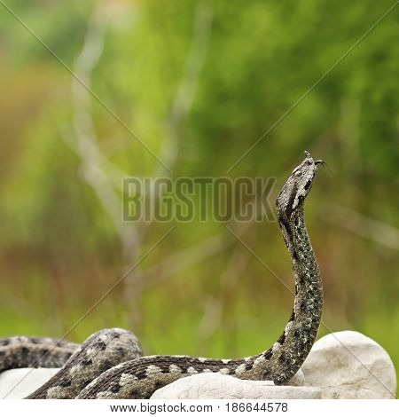european venomous snake ready to attack ( one of the most dangerous european reptiles the nose horned viper Vipera ammodytes )