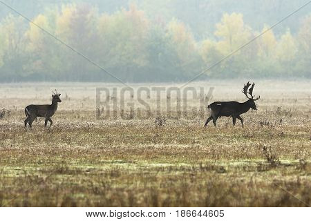 fallow deers in mating season walking on meadow ( Dama )