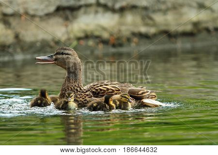 family of mallard ducks on a pond mother with ducklings ( Anas platyrhynchos )