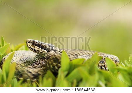female meadow adder hiding in grass the most elusive european snakes ( Vipera ursinii rakosiensis closeup )