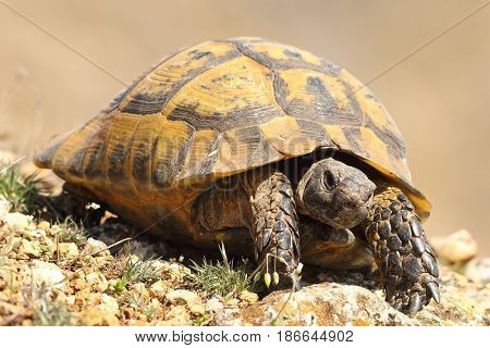 greek turtoise walking on natural habitat ( Testudo graeca )