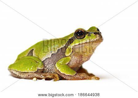 Hyla arborea on white background ( green european tree frog )