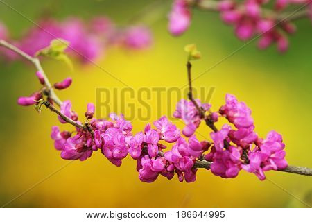 close up of japanese cherry tree twig in bloom over colorful out of focus natural background pink beautiful flowers