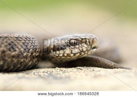 juvenile beautiful meadow viper ( The rarest reptile in Europe Vipera ursinii rakosiensis )