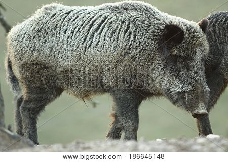 large wild boar at dawn ( Sus scrofa curious animal looking towards the camera )