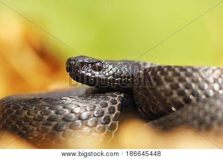 melanistic nikolsky viper portrait ( Vipera berus nikolskii )