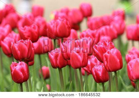 pink tulips field beautiful flowers in ornamental garden detail