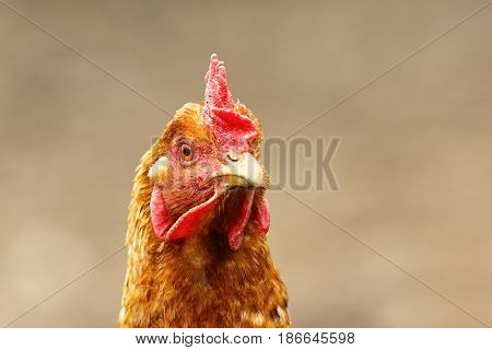 portrait of curious brown hen over out of focus background image taken in the farm yard