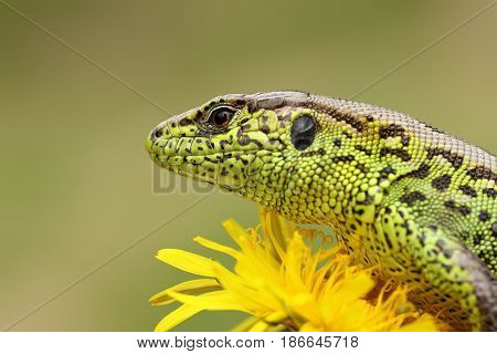 portrait of sand lizard standing on yellow dandelion ( Lacerta agilis macro shot )