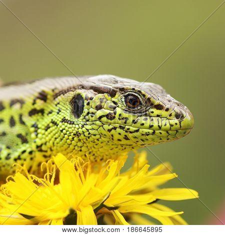 macro shot of sand lizard basking on dandelion flower ( Lacerta agilis )