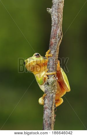 tiny tree frog climbing on a branch ( Hyla arborea the only arboreal flog in Europe )
