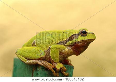 green tree frog profile view ( Hyla arborea )