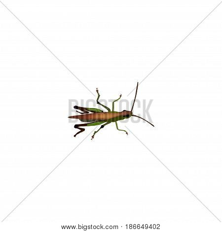 Realistic Grasshopper Element. Vector Illustration Of Realistic Locust Isolated On Clean Background. Can Be Used As Locust, Grasshopper And Bug Symbols.