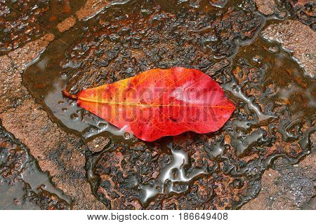 A big red leaf fell down on the wet rock floor