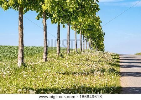 Little Chestnut Trees Alley Along Road On Horizon