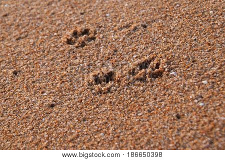 Travel to island Phuket Thailand. The footprints of dog on the sand beach.