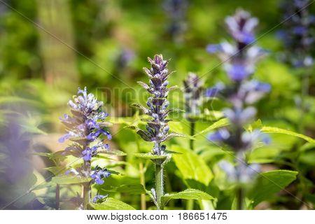 Close-up Shot Of Blue Ajuga Flowers