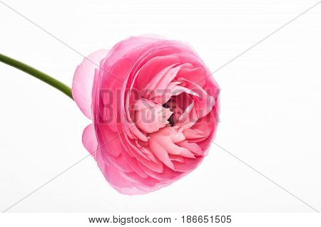 light pink persian buttercup flowers (Ranunculus ) isolated on white background.