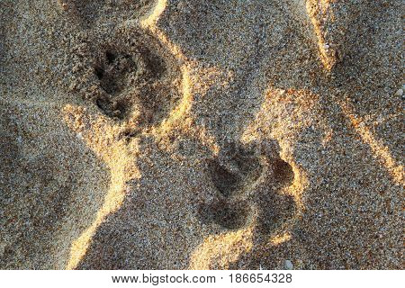 Travel To Island Phuket, Thailand. The Footprints Of Dog On The Sand Beach.