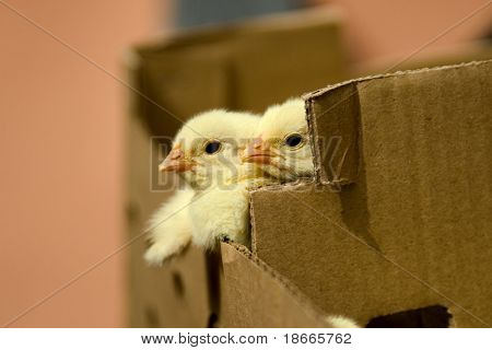 one day baby chicken in the box.