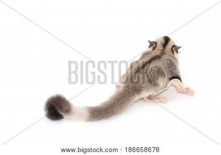 Cute Sugar Glider. Petaurus Breviceps, On White Background